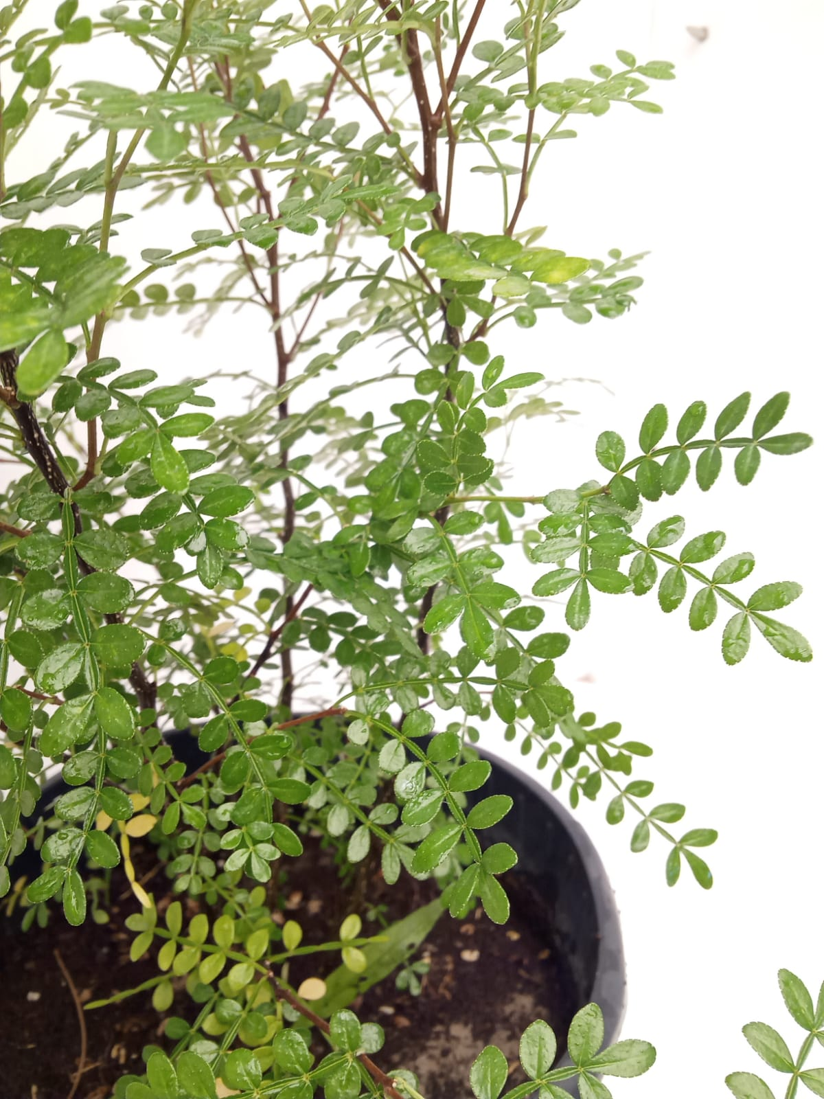 Zanthoxylum beecheyanum Outdoor Plants Shrubs
