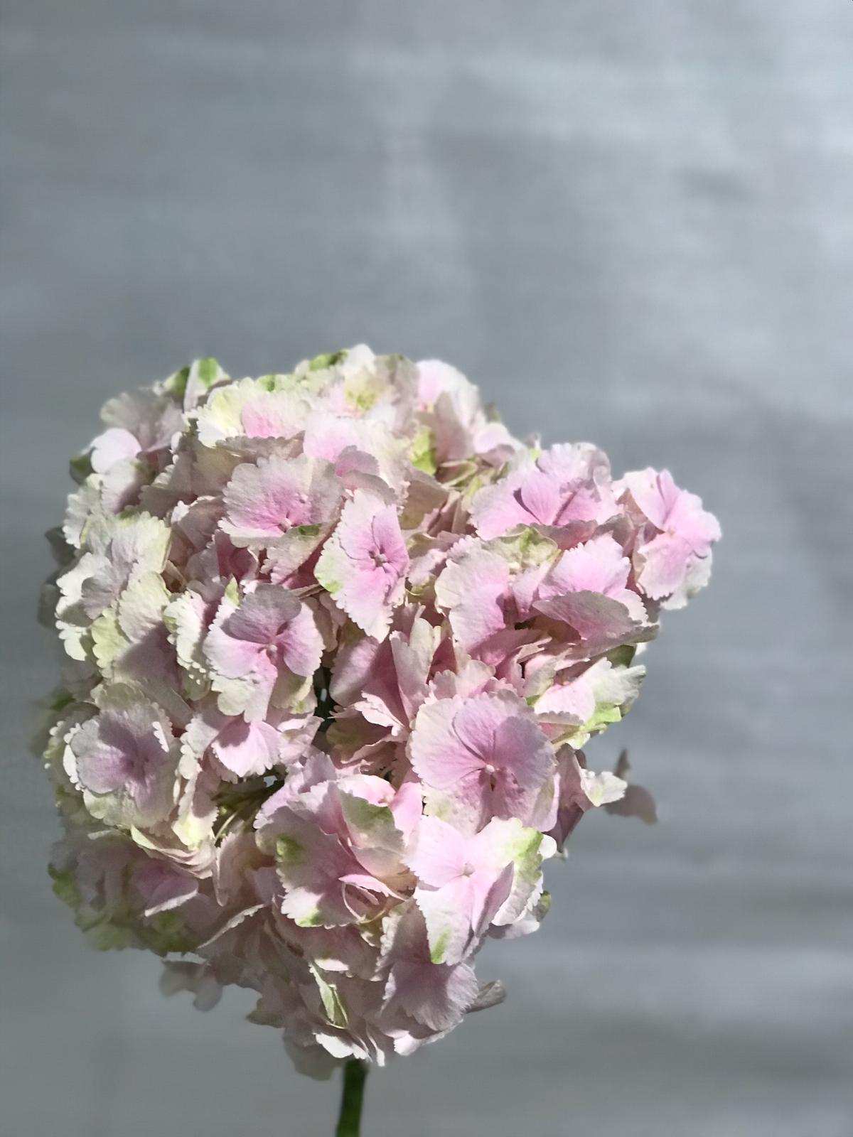 Hydrangea Light Pink Wholesale Flowers Cut Flowers