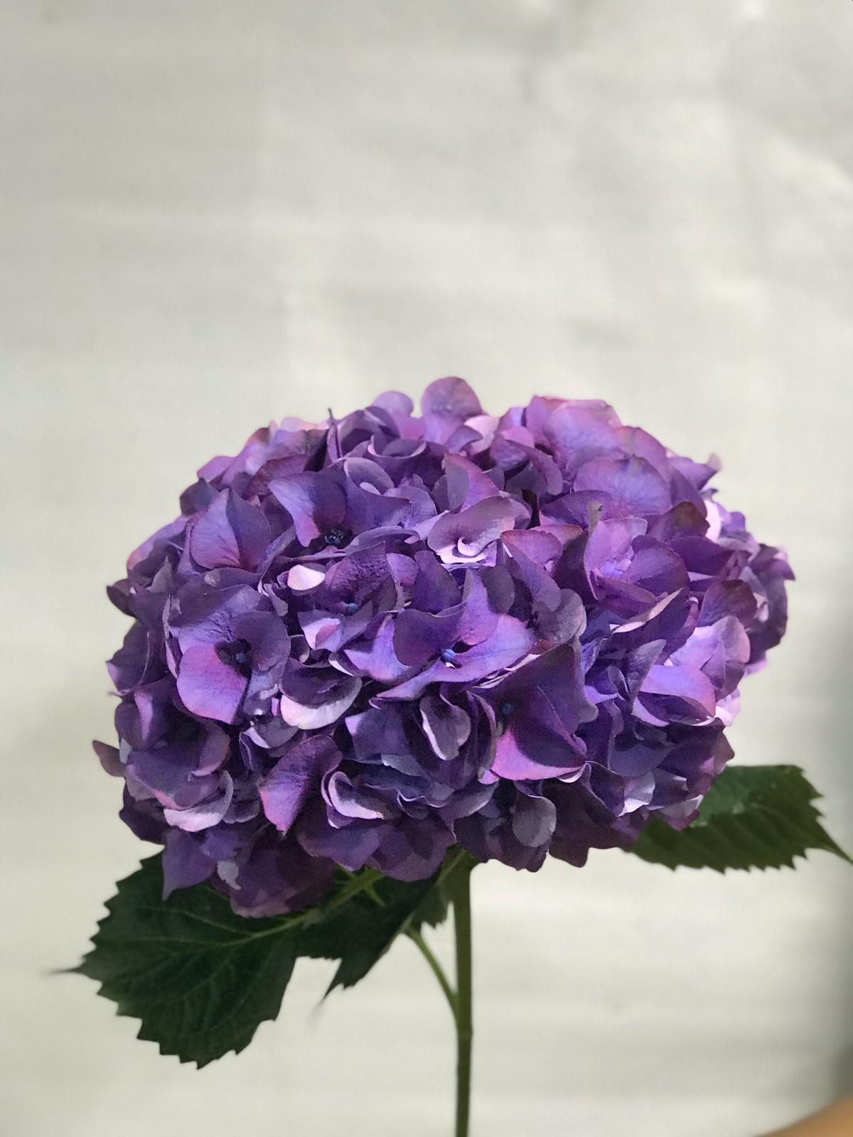 Hydrangea Dark Purple 'Wholesale Flowers Cut Flowers