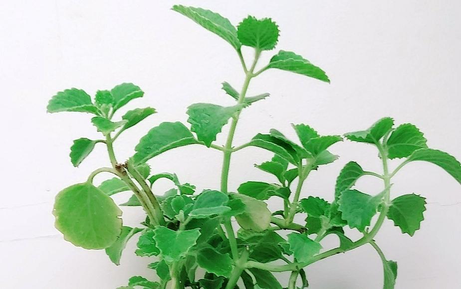 Za'atar America - Herbs Outdoor Plants Herbs