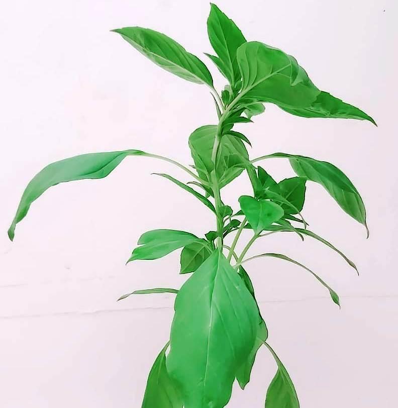 Mashmom Herbs Outdoor Plants Herbs