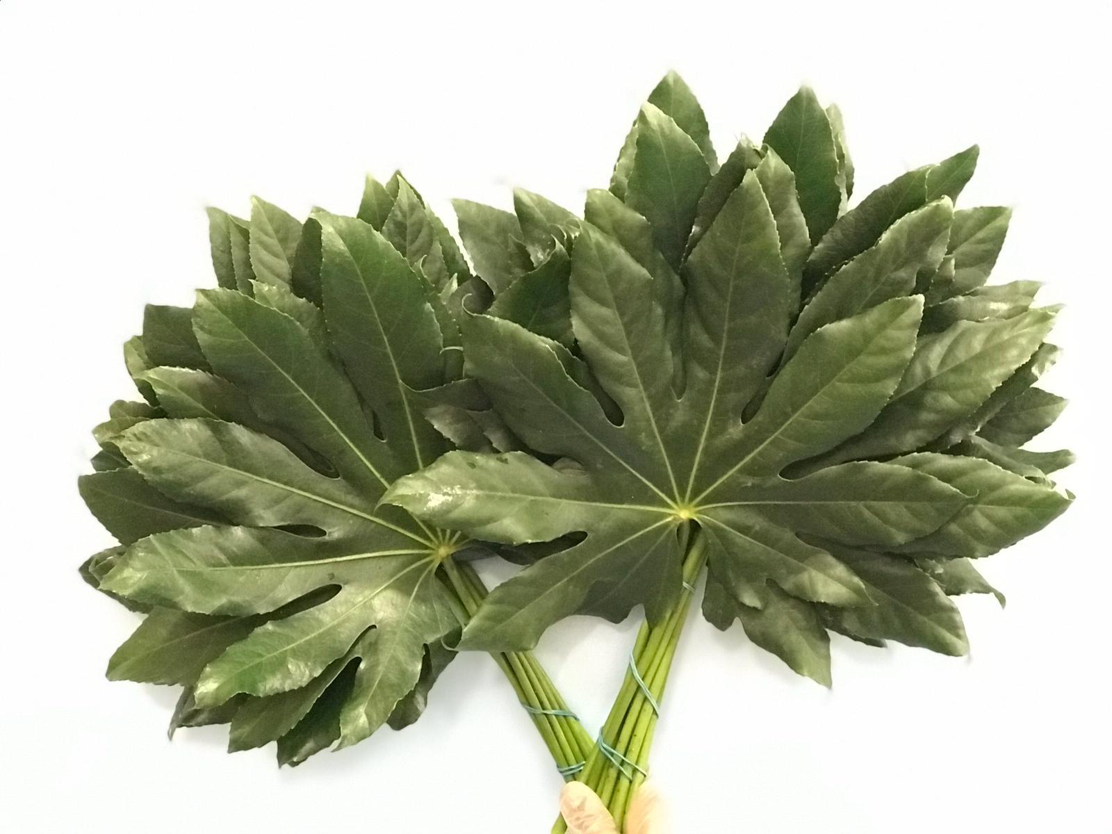 Aralia leaf Wholesale Flowers Cut Flowers