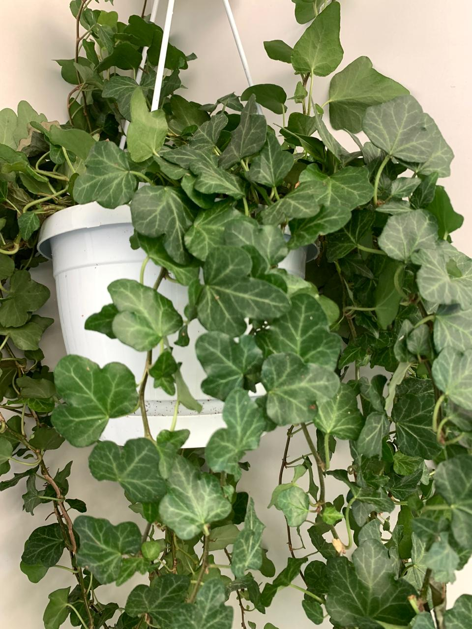Hedera Helix Wonder Indoor Plants Hanging