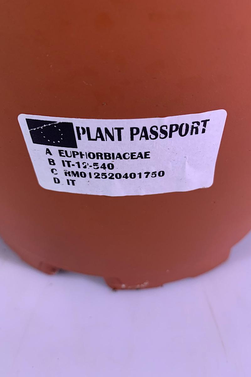صبار فربيون الإيطالي 'التشكيلة الفخمة نباتات للمكتب