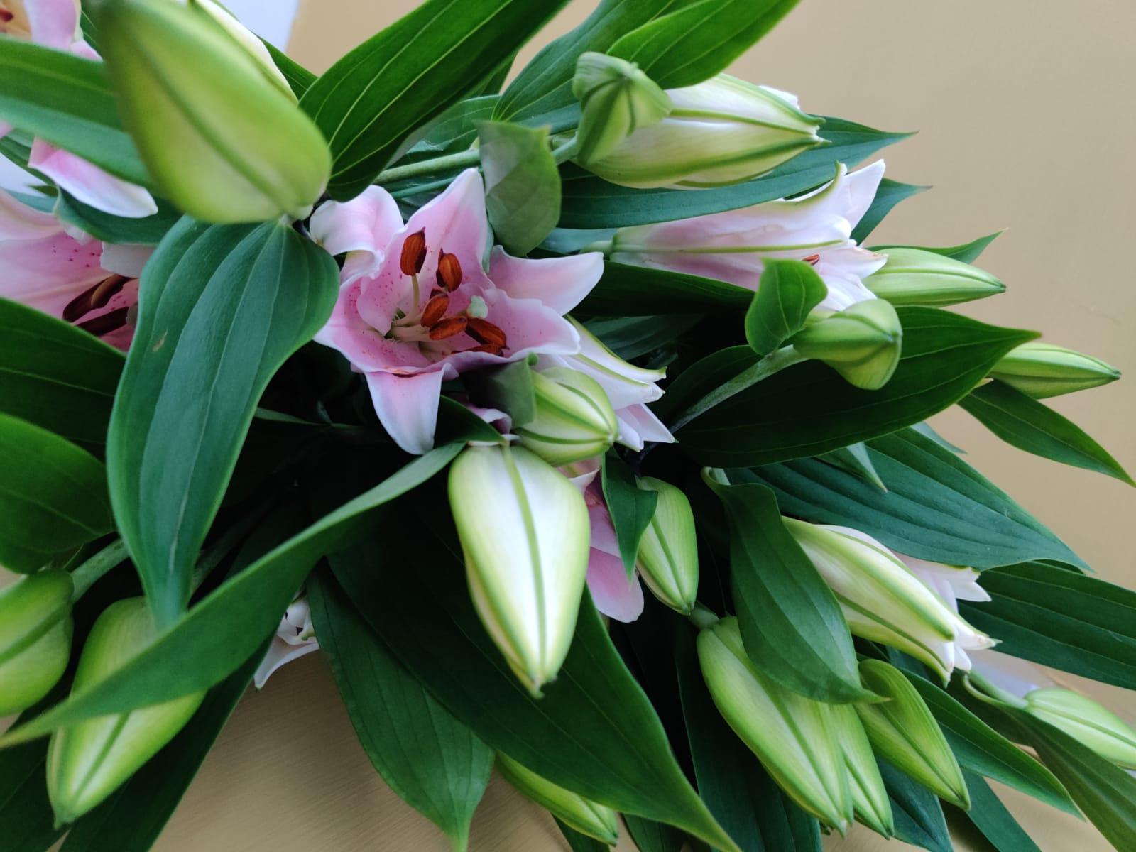 زنبق السلام - وردي ' الزهور بالجملة زهور مقطوفة
