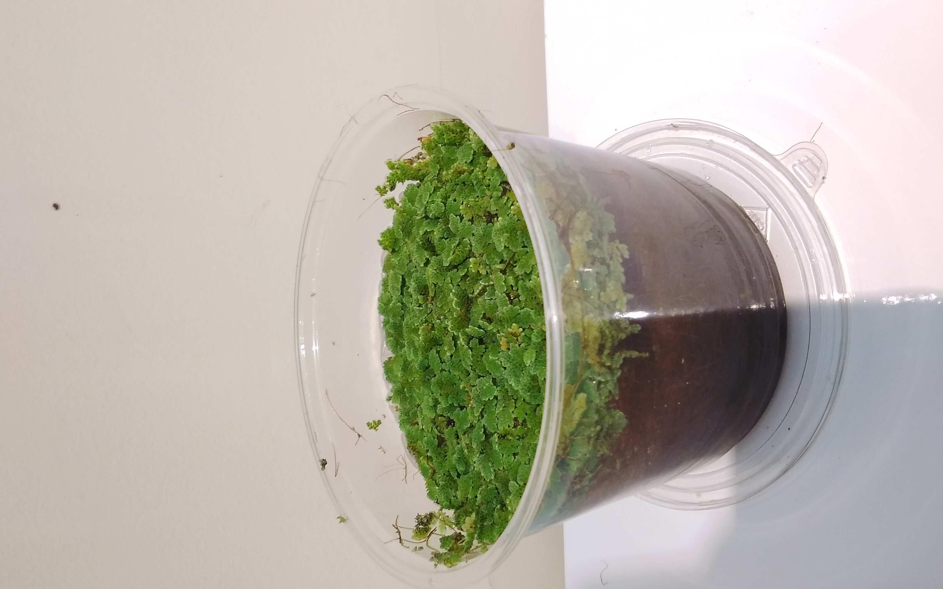 ازولا داخل حوض شفاف نباتات خارجية شجيرات