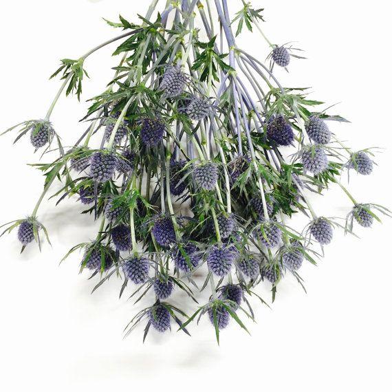 Eryngium Blue 'Wholesale Flowers Cut Flowers