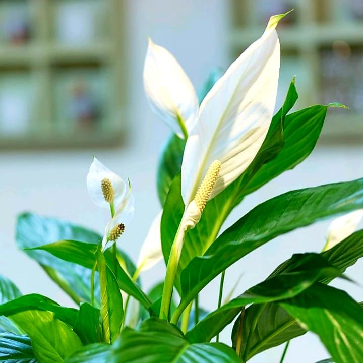 سباتيفيلوم  نباتات داخلية شجيرات