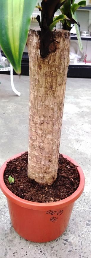 Dracaena Massangeana 50 Stem XXL 'Indoor Plants Shrubs