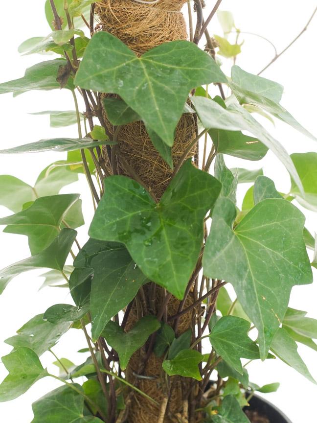 Hedera Stick 'Indoor Plants Shrubs