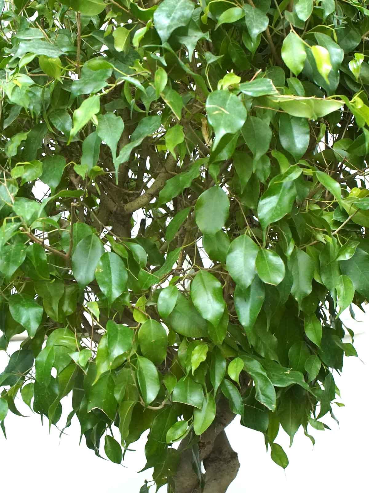 تين بنيامين اللولبي نباتات داخلية أشجار