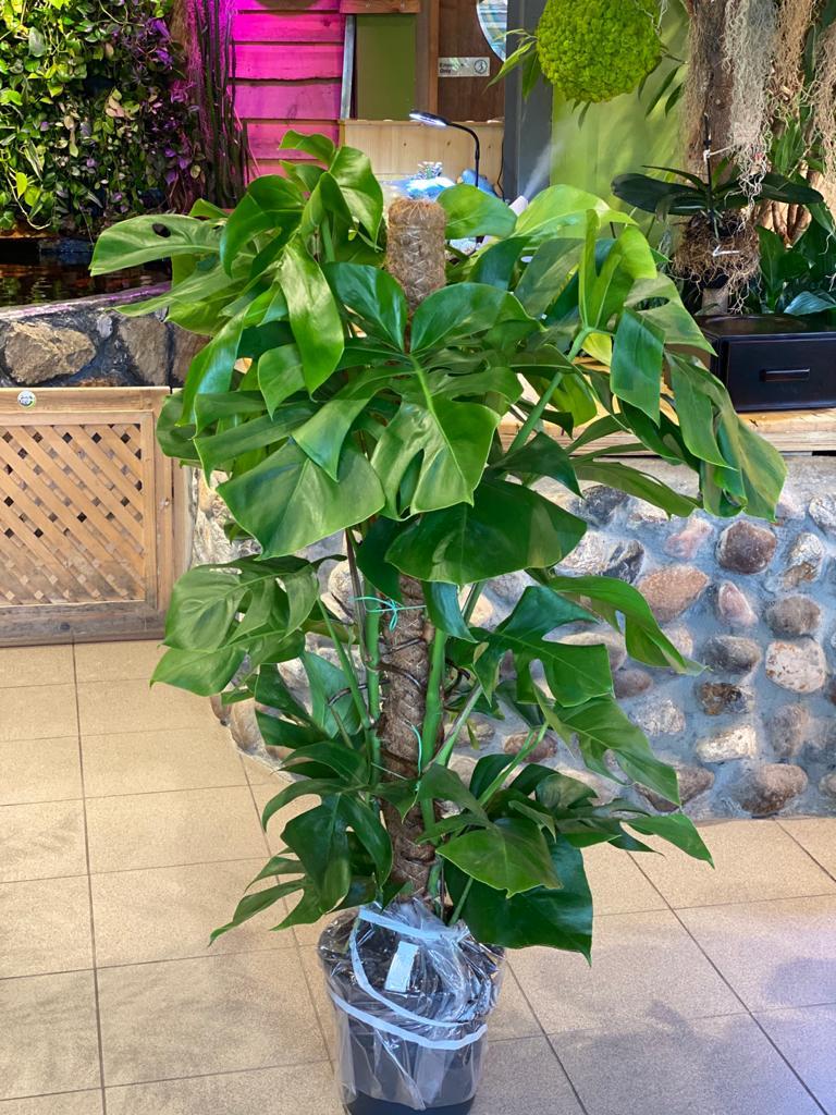 Monstera Deliciosa Indoor Plants Shrubs