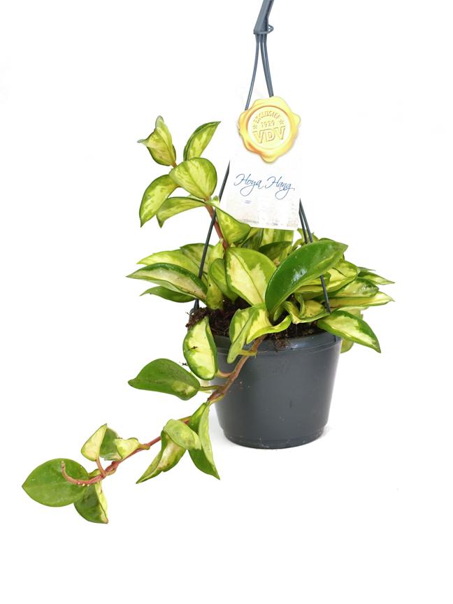 هويا كارنوسا  نباتات داخلية معلقة