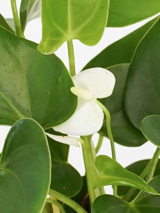 Anthurium A. Arisa Baby White 'Indoor Plants Shrubs
