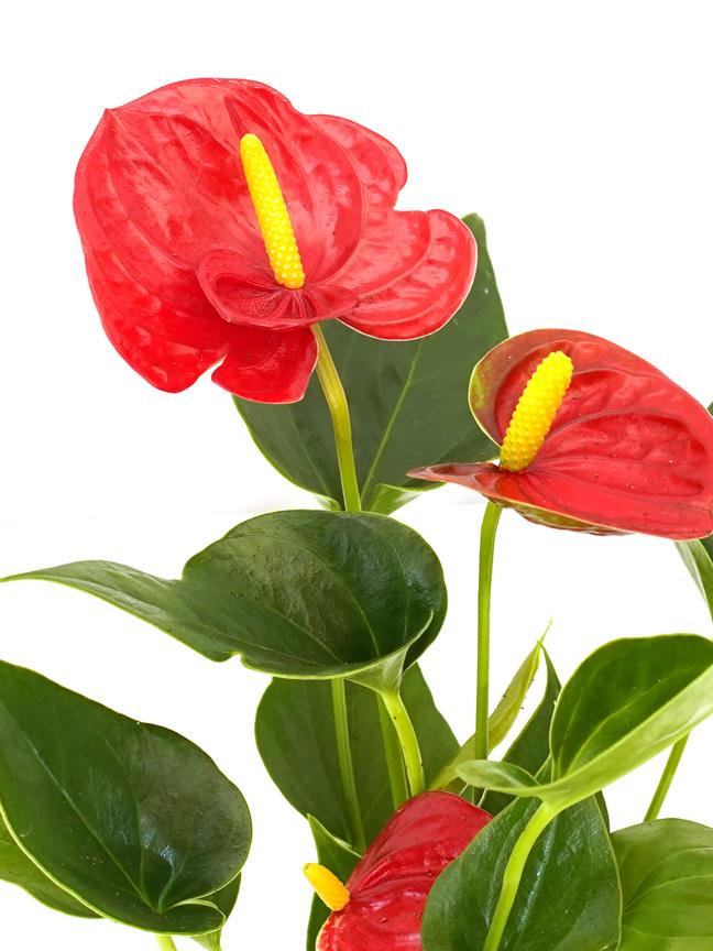 Anthurium A. Baby Arisa Red Indoor Plants Flowering Plants