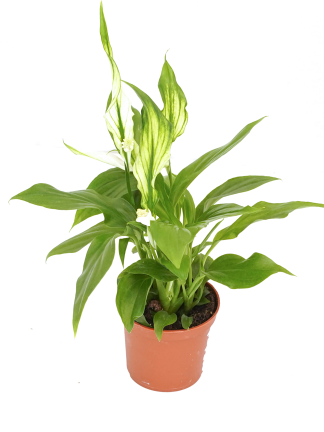 Spathiphyllum Pearl Cupido Indoor Plants Flowering Plants