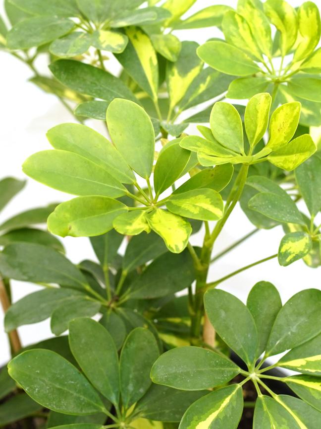 Schefflera Gold Indoor Plants Shrubs