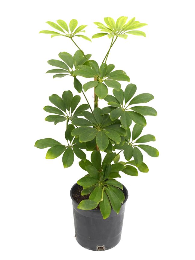 شيفليرا نورا نباتات داخلية شجيرات