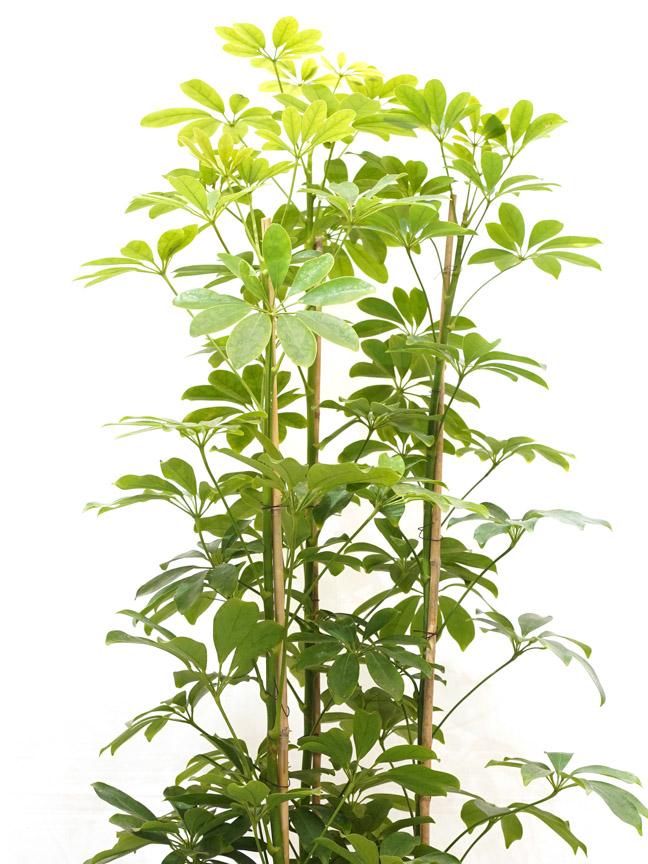 Schefflera Nora 'Indoor Plants Shrubs