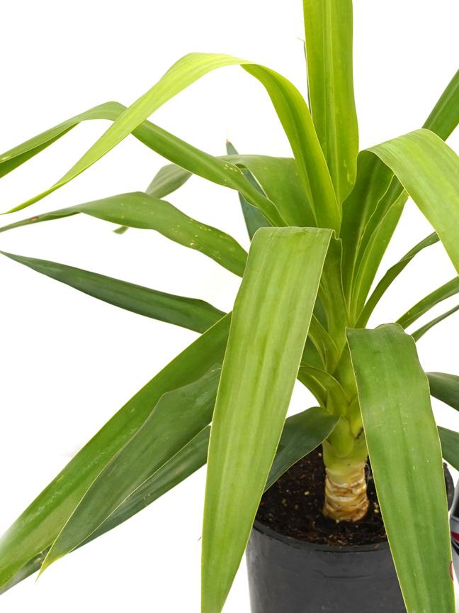 Yucca Indoor Plants Shrubs