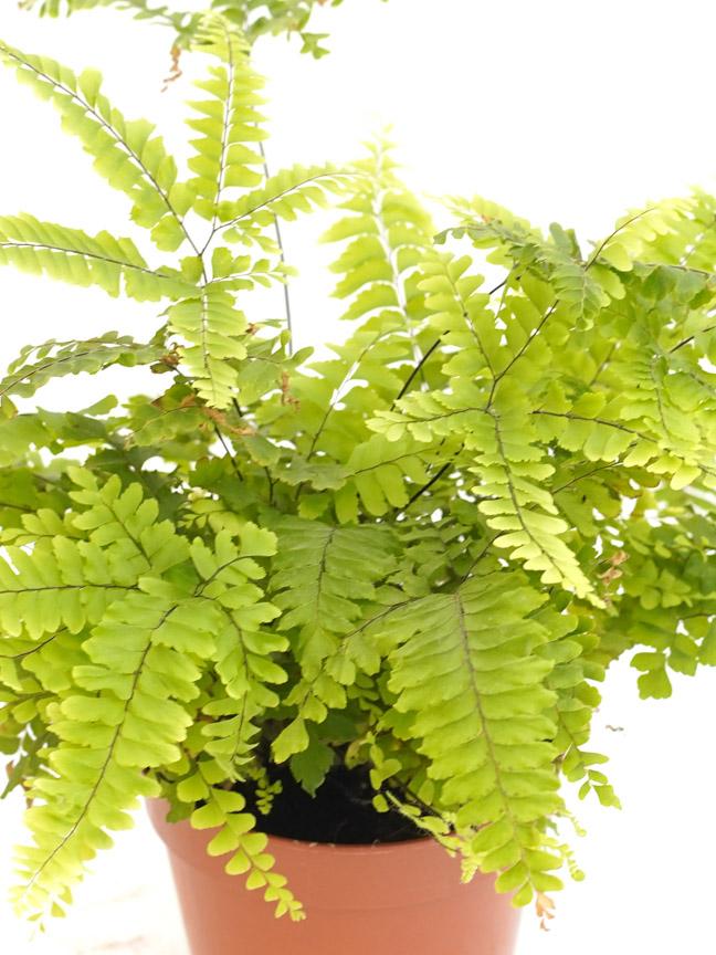 روتبويليا نباتات داخلية شجيرات