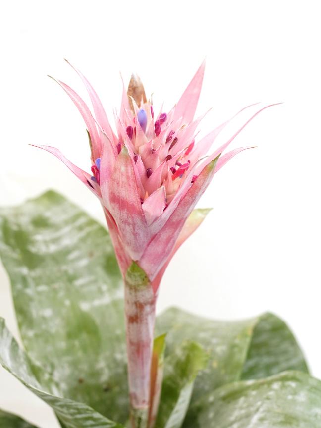 Aechmea Mixed 'Indoor Plants Shrubs