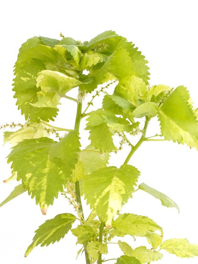 اكاليفيا أخضر 'نباتات داخلية شجيرات