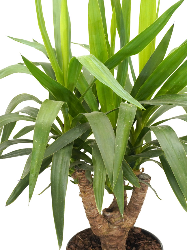 Yucca Branched Indoor Plants Shrubs