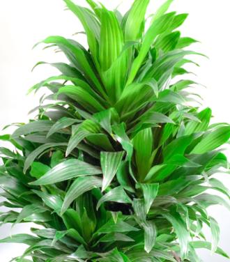 Dracaena Compacta Branched Indoor Plants Shrubs