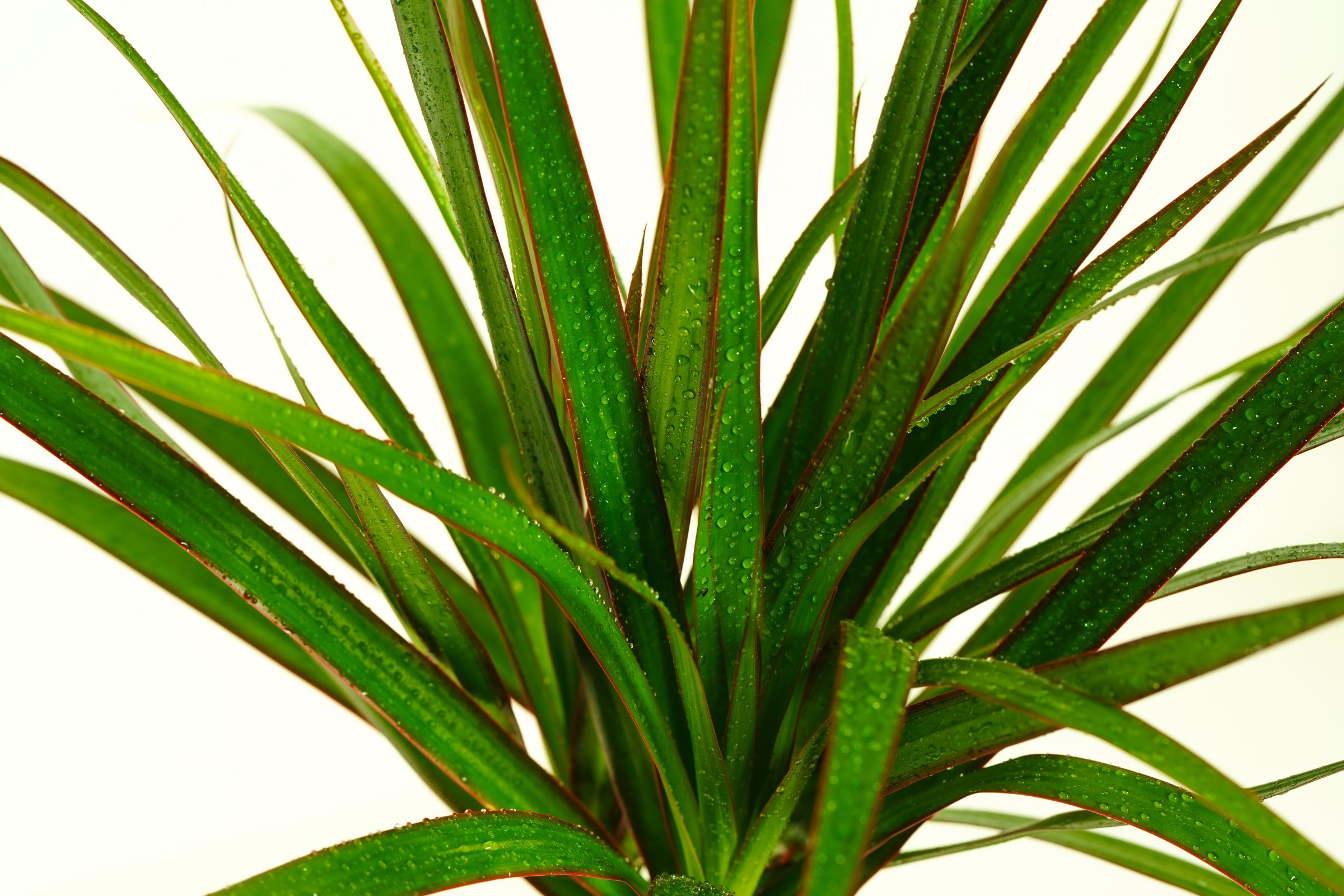 Dracaena Marginata 1 Cutting 'Indoor Plants Shrubs