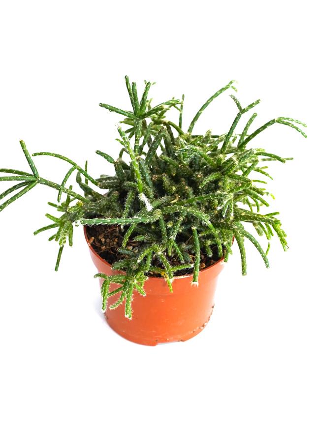ريبساليس بيلوكاربا 'نباتات داخلية شجيرات