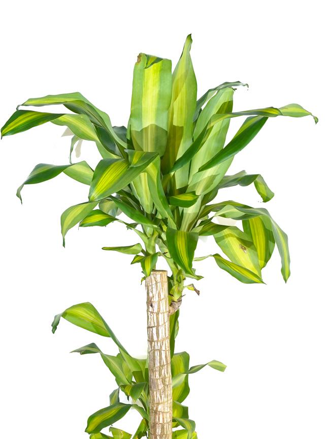 دراسينا هولاند 'نباتات داخلية شجيرات