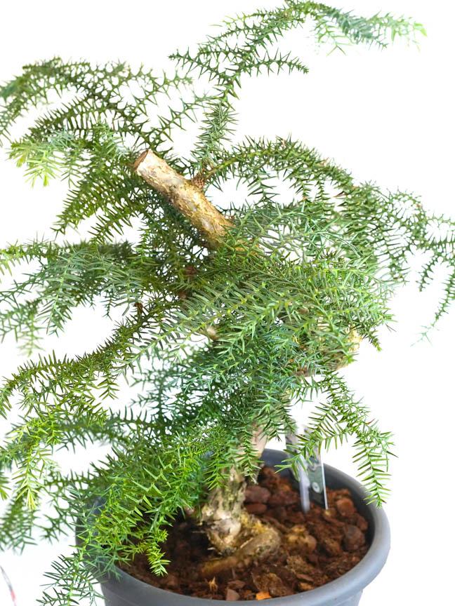 بونساي أروكاريا  'نباتات داخلية شجيرات