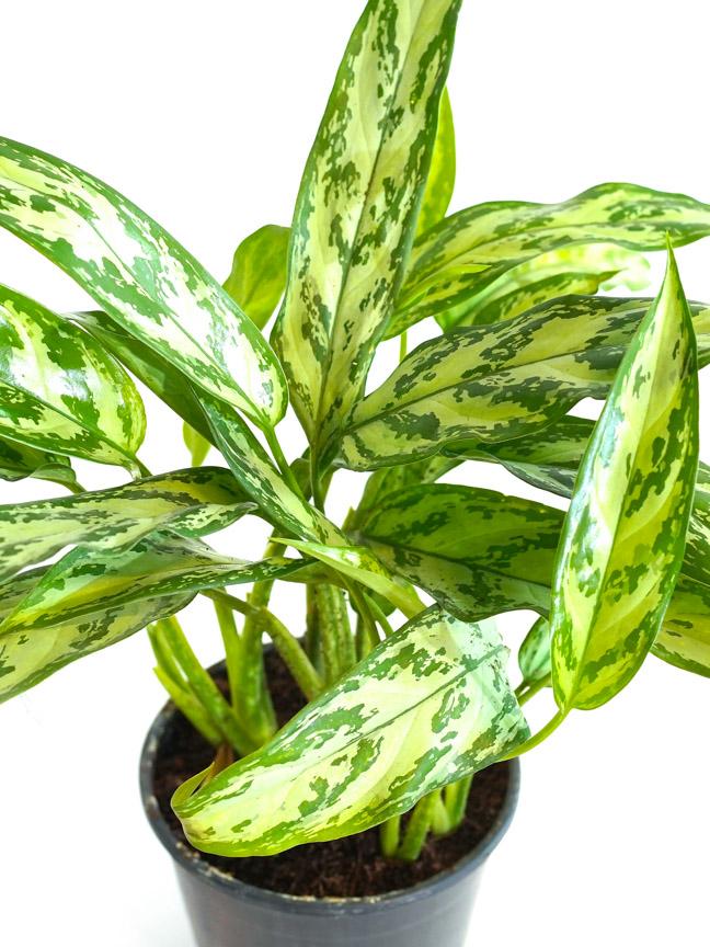 Aglaonema Silver Queen Indoor Plants Shrubs