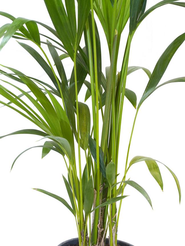كنتيا 'نباتات داخلية شجيرات