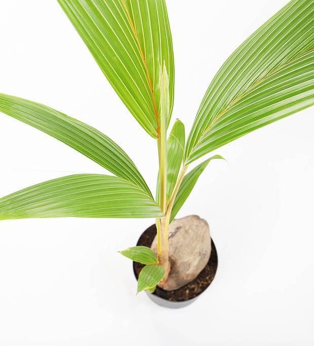 Cocos nucifera dwarf golden malay Indoor Plants Trees