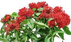 IXORA RED نباتات خارجية اشجار