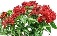 كلوسيا كلوسياكيا نباتات خارجية شجيرات