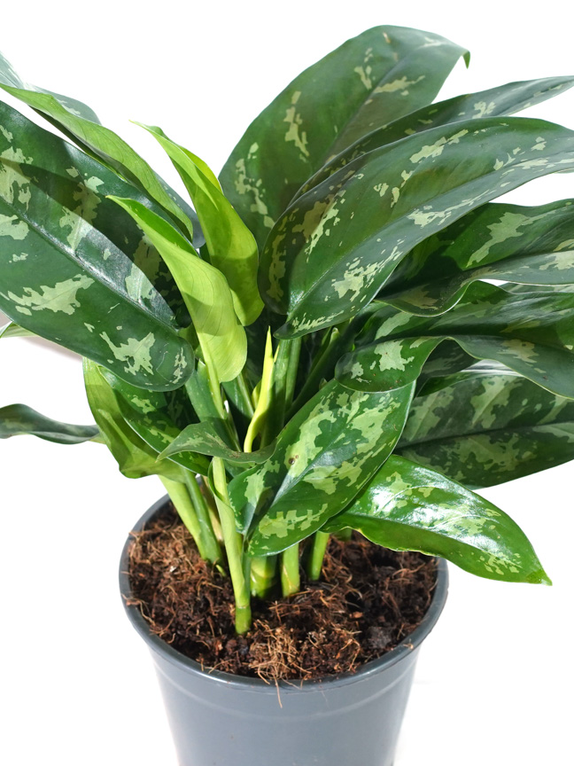 Aglaonema Maria Indoor Plants Shrubs