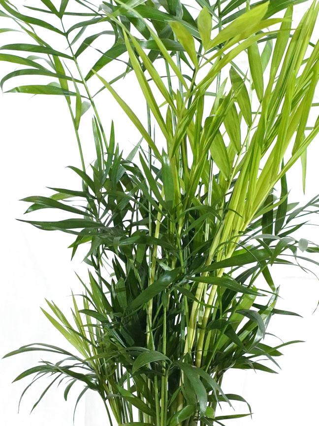 Chamaedorea Elegans Indoor Plants Shrubs