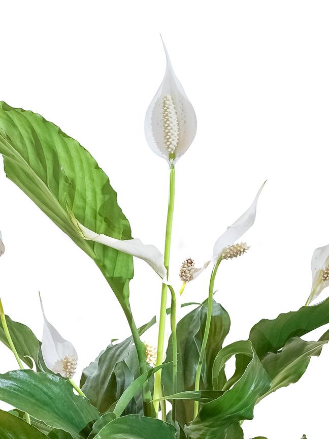 Spathiphyllum Cupido Compacto 'Indoor Plants Flowering Plants