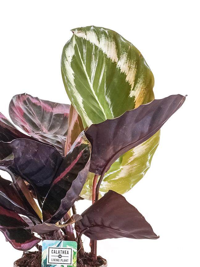 Calathea Medallion  Indoor Plants Shrubs