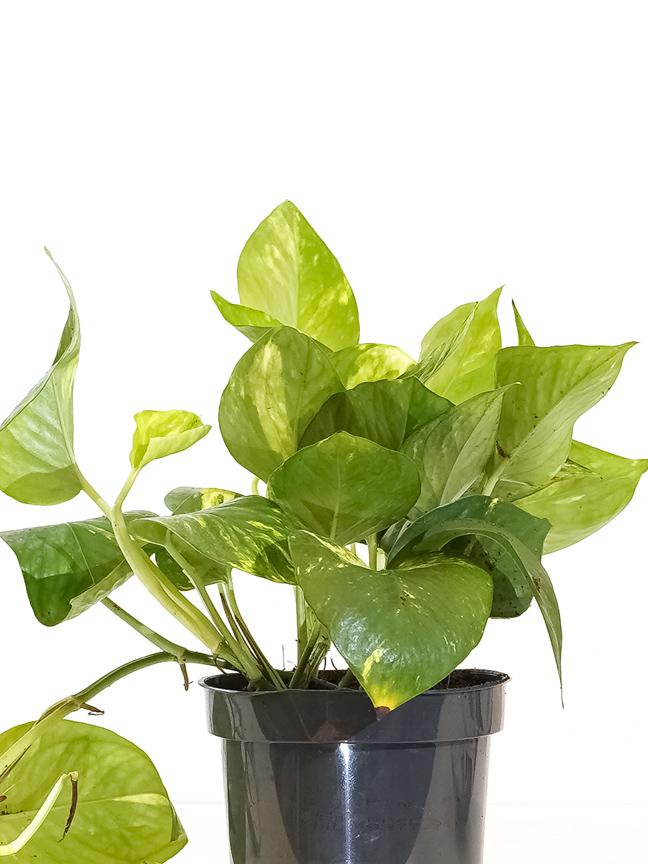 Epipremnum Table Plants 'Indoor Plants Shrubs