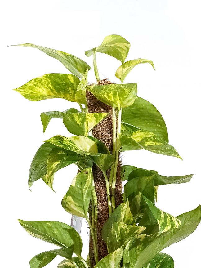 Epipremnum Mosstok Indoor Plants Shrubs