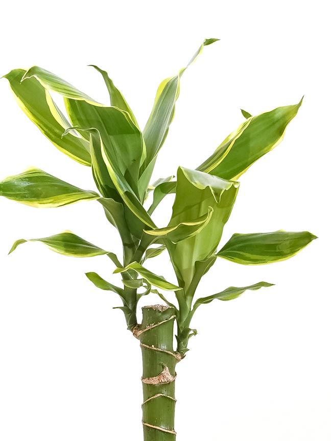 Dracaena fr Yellow Coast 1 Cutting Indoor Plants Trees