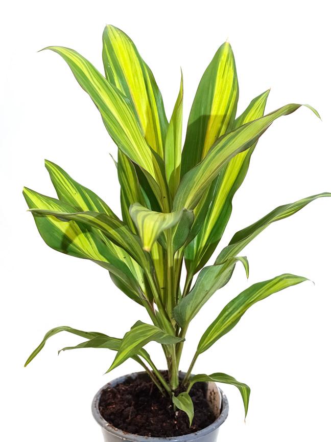 كوردلين كيوي 'نباتات داخلية شجيرات