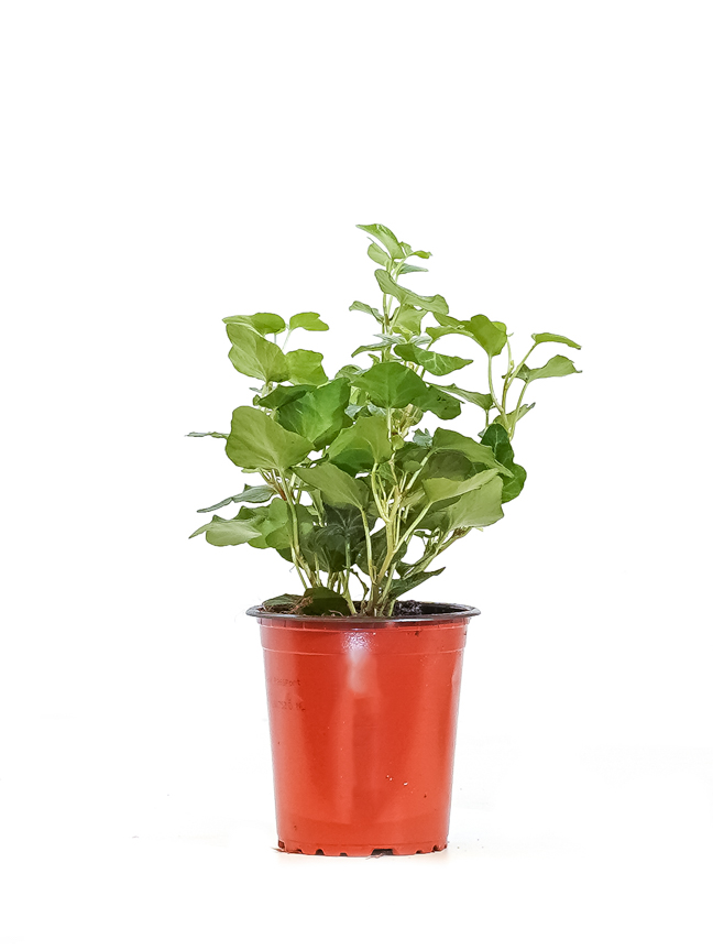 Hedera Helix Mixed Indoor Plants Shrubs