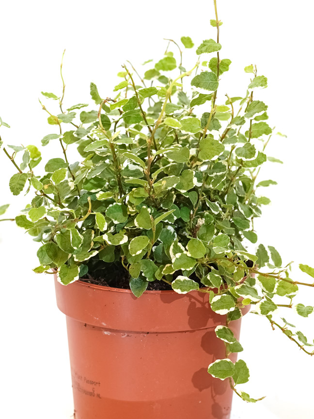 Ficus Pumila White Sunny 'Indoor Plants Shrubs