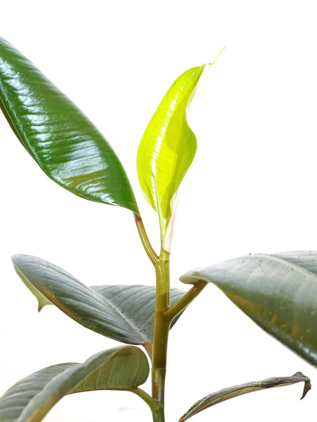 اللبخ المرنة 'نباتات داخلية أشجار