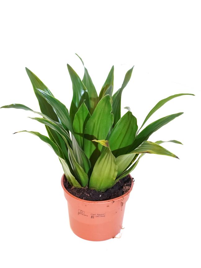 Dracaena Compacta 'Indoor Plants Shrubs